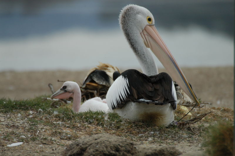 Australian Pelicans at Orange Grove with chicks