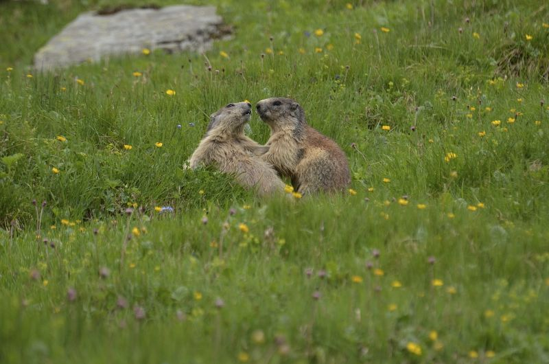 Alpine Marmot - Facts, Diet, Habitat & Pictures on Animalia bio
