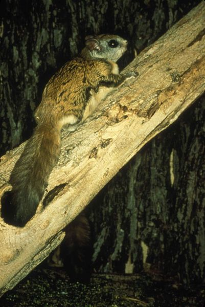Northern Flying Squirrel photo