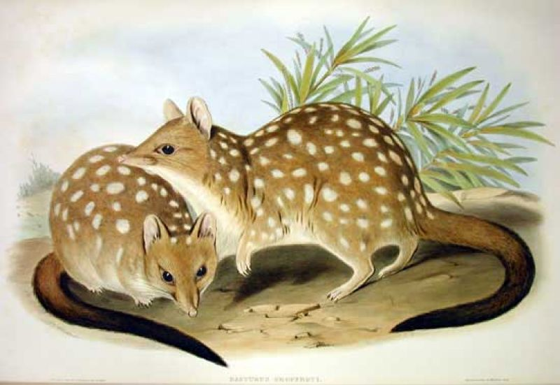 Western Quoll photo