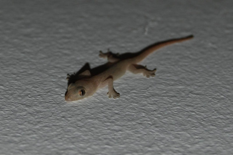 Baby Asian House Gecko