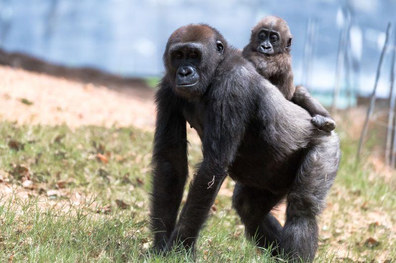 Baby Gorilla on Sister's Back