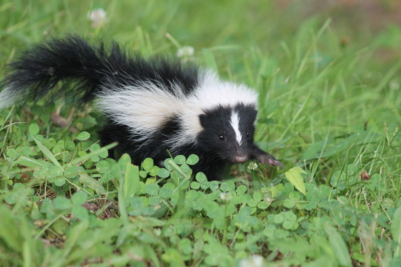skunk Skunk geography the most common and recognized skunk species in north america is the striped skunk, whose range extends from the southern half of canada to the northernmost parts of mexico, covering most of the continental united states.