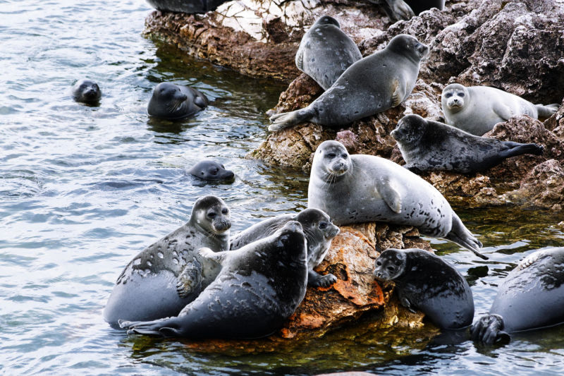 Baikal seals at the Ushkan Islands