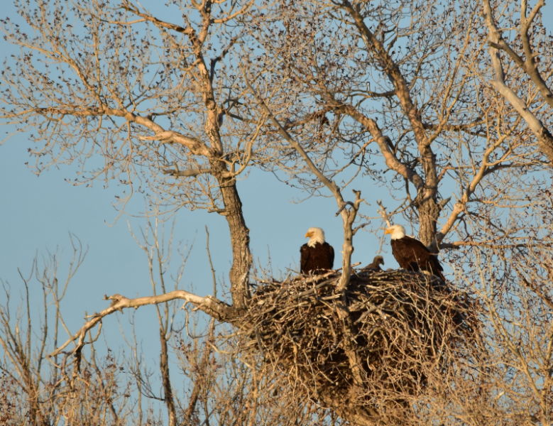 Bald eagle nest on Seedskadee National Wildlife Refuge