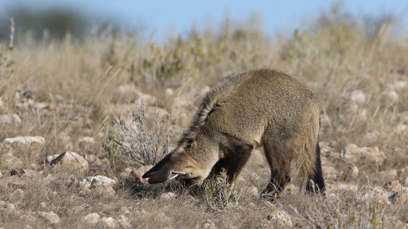 Bat-eared fox, Otocyon megalotis, at Kgalagadi Transfrontier Park, Northern Cape, South Africa