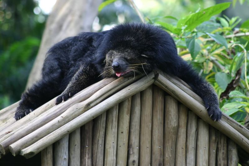 Bear Cat, Singapore Zoo