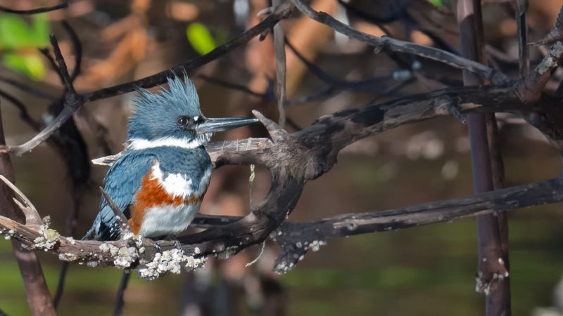belted kingfisher female shell creek entrance