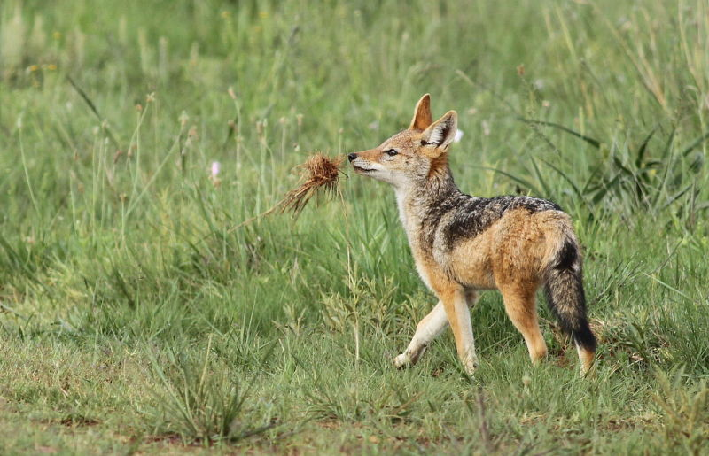 Black-backed jackal, Canis mesomelas, a young one playing with a root as a puppy plays with a ball at Rietvlei Nature Reserve, Gauteng, South Africa