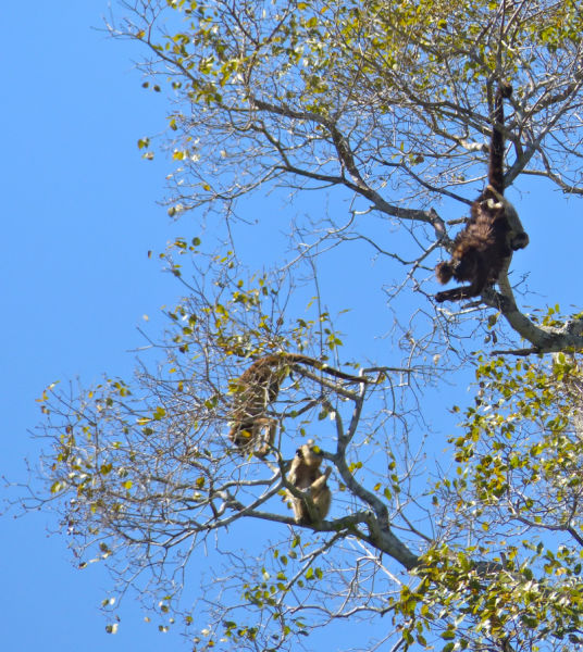 Black Howler Monkeys (Alouatta caraya) female and youngs ...