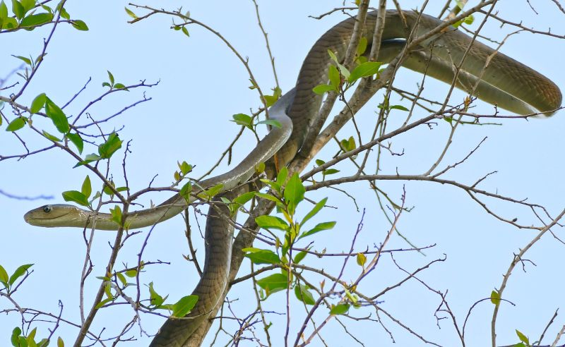 Black Mamba (Dendroaspis polylepis) juvenile (under 2m...) on top of a tree ...