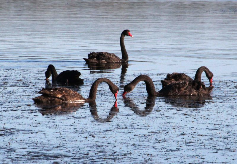 Black Swans off Canton Beach, Tuggerah Lake