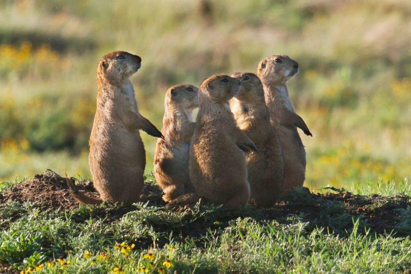 Black-tailed Prairie Dog #2 7-6-17
