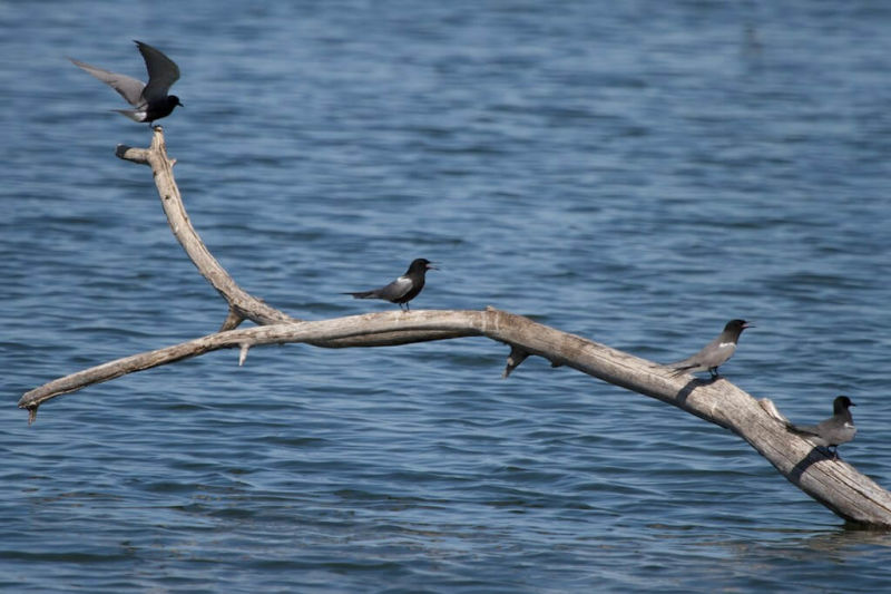 Black Tern|Malheur NWR|OR | 2014-05-14at10-33-5221