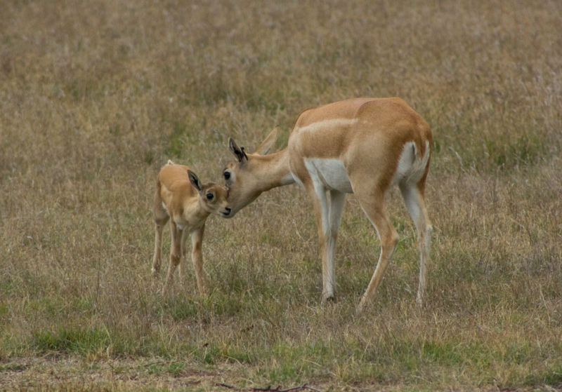 Blackbuck mother and fawn