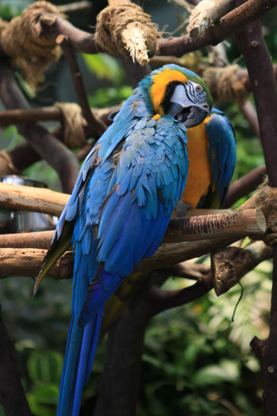 Blue and Gold macaw (Ara araruna)