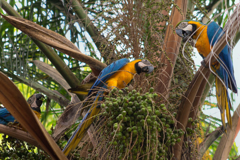 Blue-and-yellow Macaw | Guacamayos azul y amarillo (Ara ararauna)