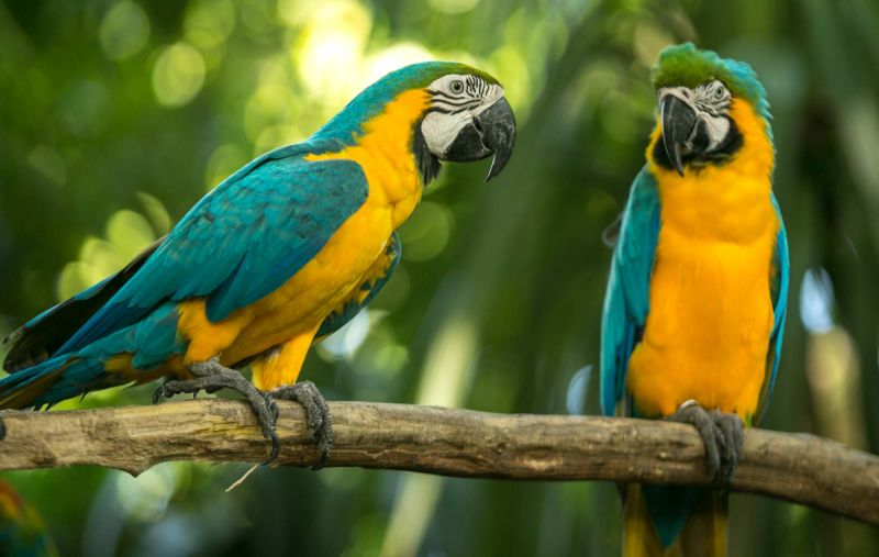 blue-and-yellow-macaws-in-cartagena