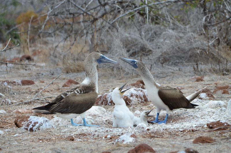 Blue-footed Boobies with two young, Galápagos