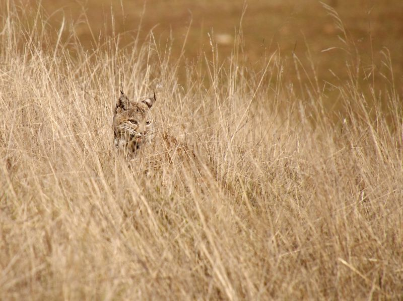 Bobcat Hiding in the Tall Dry Grass in Joseph D Grant County Park