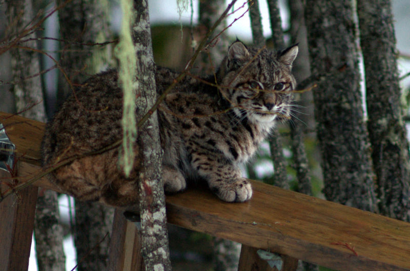 Bobcats outside the house, in Whistler, Canada