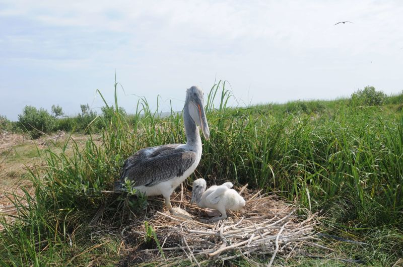 Brown pelican adult and chick