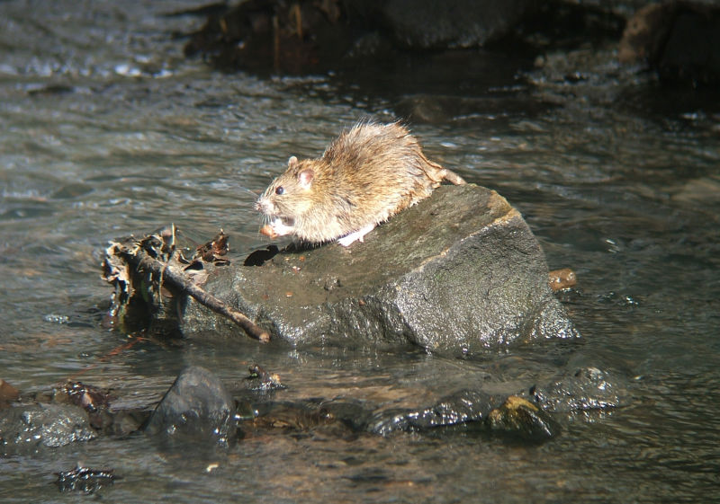 Brown Rat in mid-stream