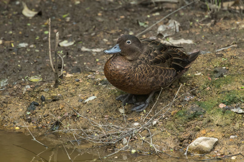 Brown Teal - New Zealand_FJ0A8238