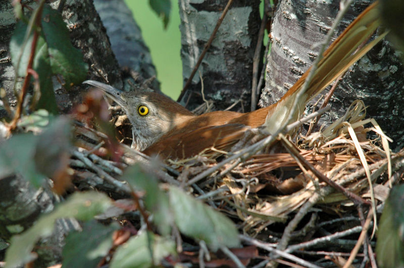 Brown Thrasher-7564