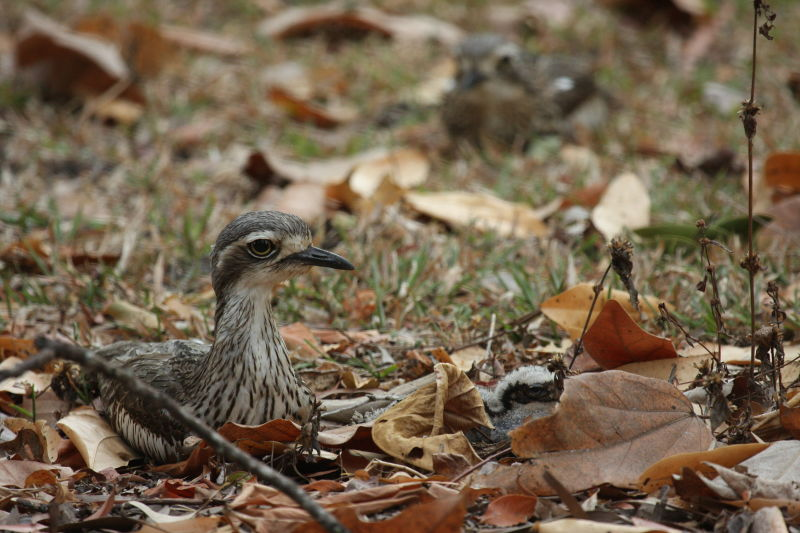Bush Stone-Curlew Family