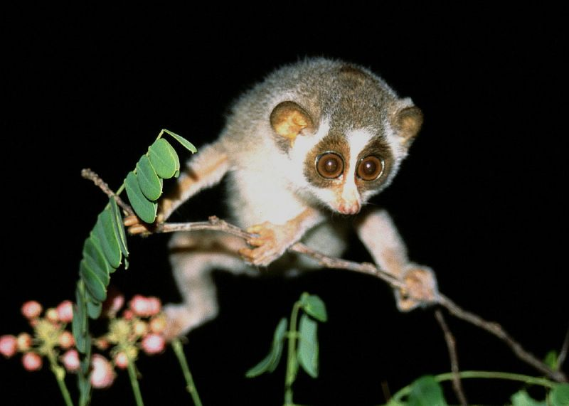 Gray Slender Loris photo