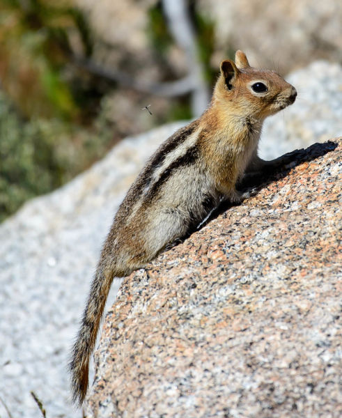 Callospermophilus (Spermophilus) lateralis  - Golden-mantled ground squirrel
