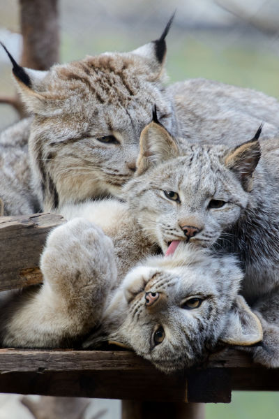 Canada Lynx Cleaning Time