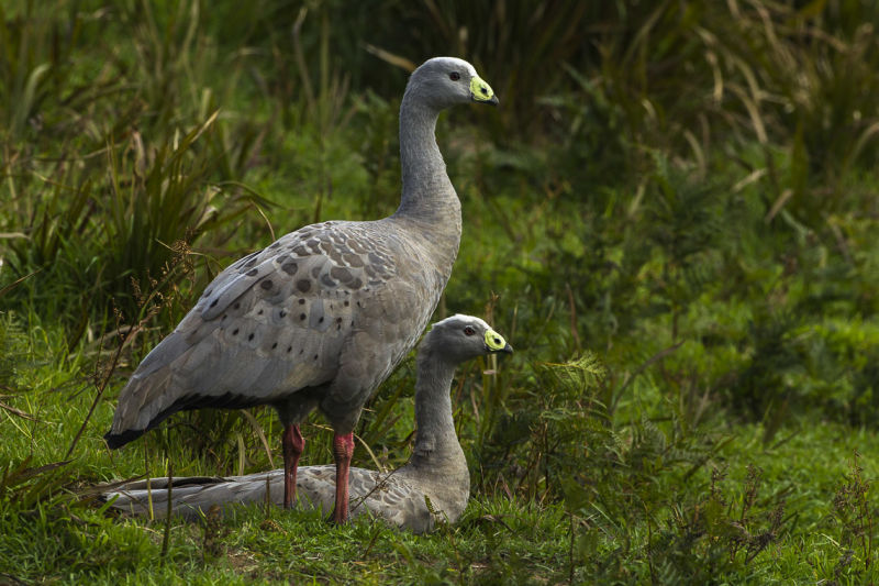 Cape Barren Goose - Phillip Is - Victoria_S4E1751