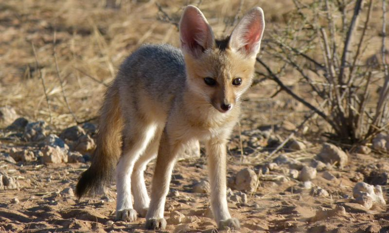 Cape Fox (Vulpes chama) pup