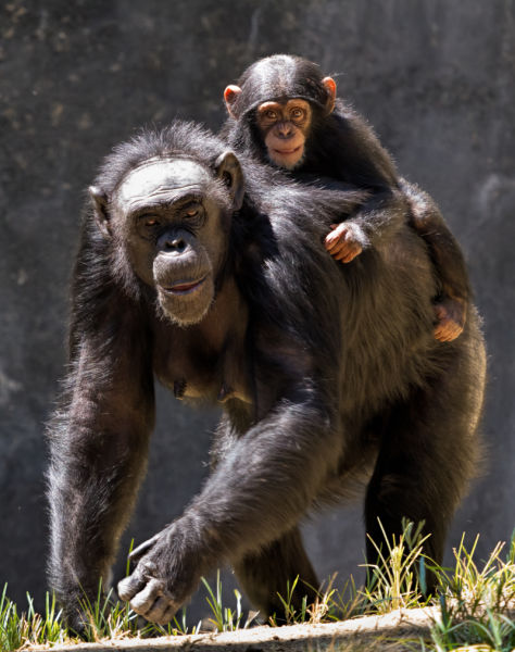 CHIMP130907_1014-Edit