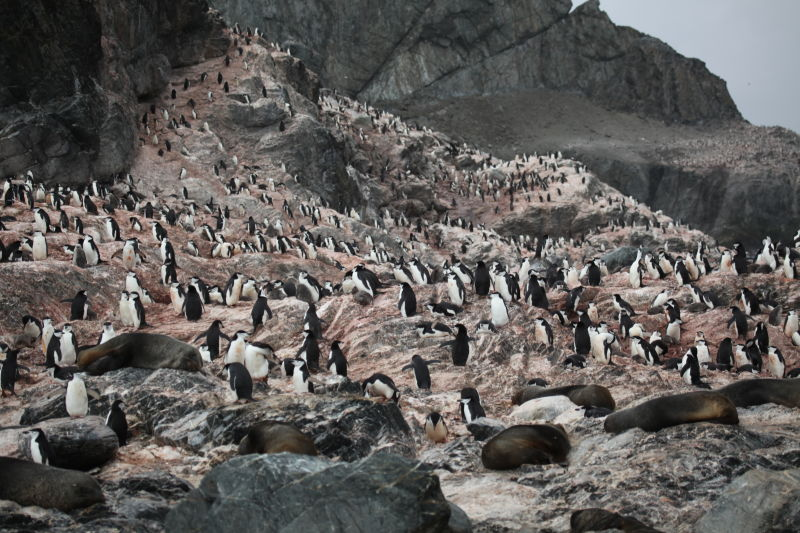 Chinstrap Penguins and Antarctic Fur Seals at Point Wild, Elephant Island