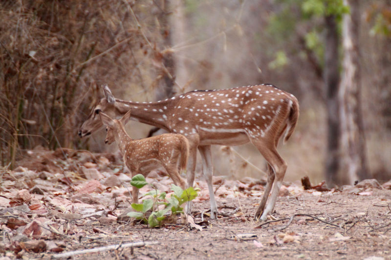 Chital or cheetal (Axis axis), also known as chital deer, spotted deer or axis deer