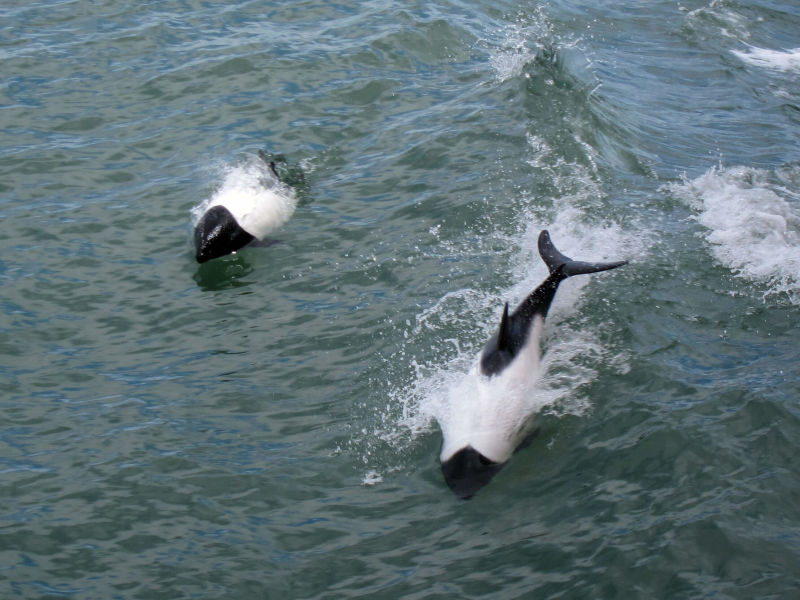 Commerson's dolphins (Cephalorhynchus commersonii) in the Strait of Magellan