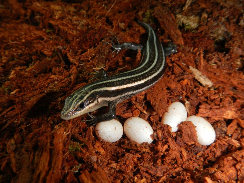 Common Five-lined Skink (Photo by Anne Devan-Song)