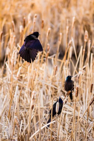 Common Grackles Freak Out