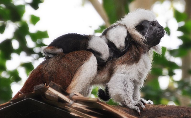 Cotton Top Tamarin And Her Babies  (DSC_0015)