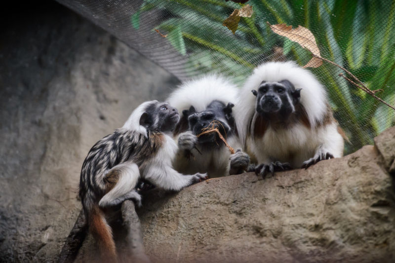 Cotton Top Tamarin Family