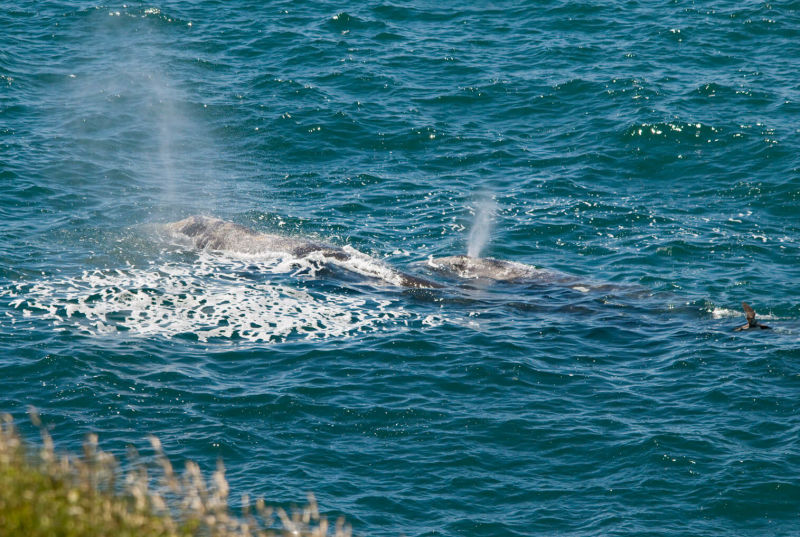 Cow and Calf Gray Whale at Yaquina Head ONA