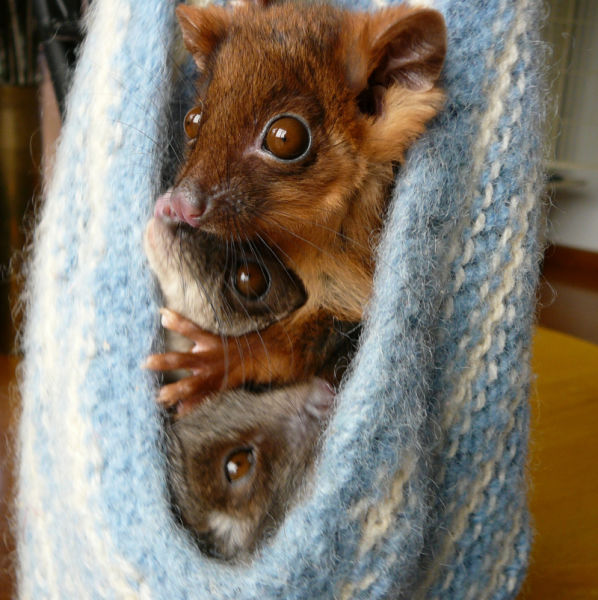 Crammed ringtail possums