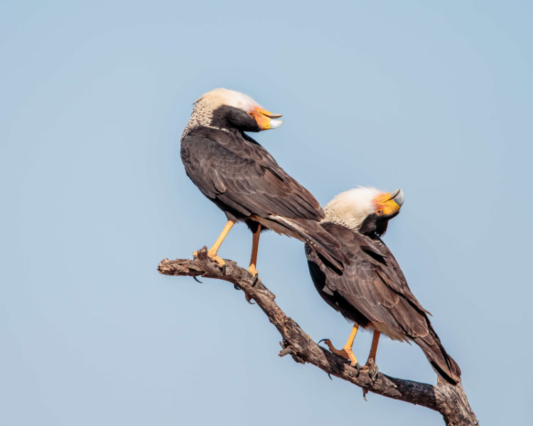 Crested Caracara - courtship