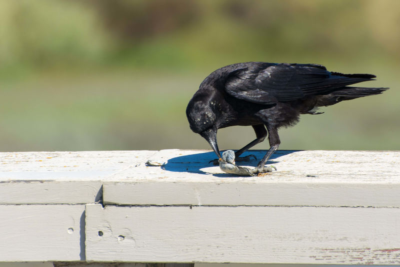Crow eating contents of a shell