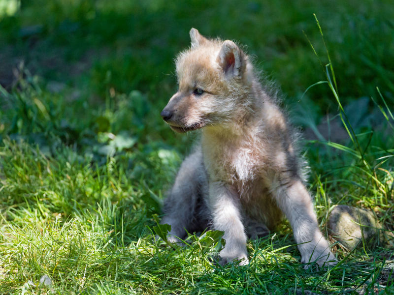 Cute arctic wolf pup in the grass