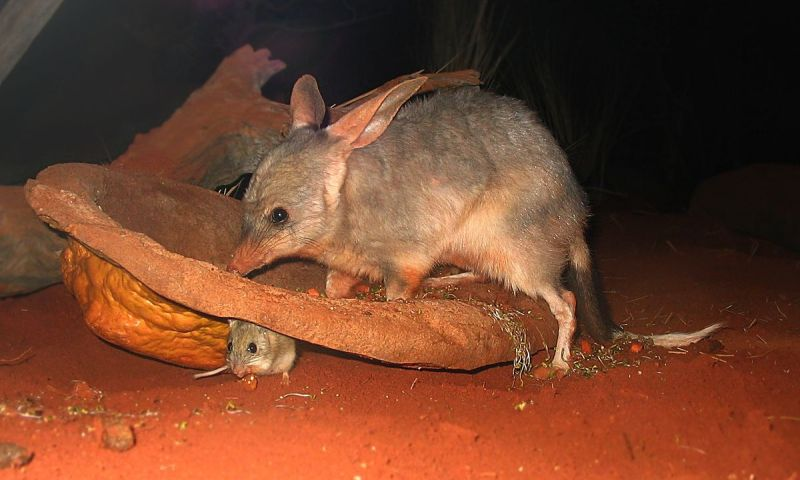 Spinifex Hopping Mouse photo