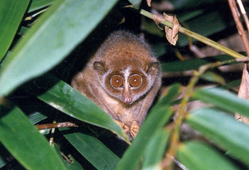 Red Slender Loris photo